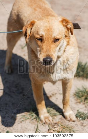 Cute Mongrel Labrador Relaxing In A Sunny Park, Brown Dog On A Leash In The Park, Animal Shelter Con
