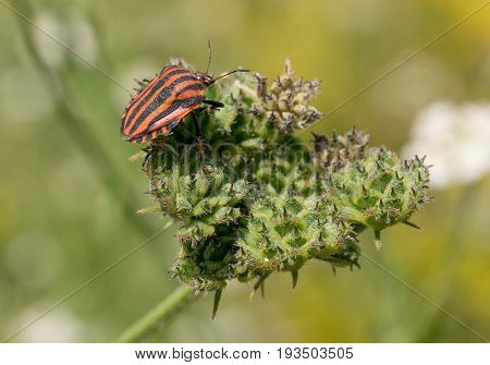 Stink bug bar or Graphosoma striped (lat: Graphosoma lineatum) is a bug from the family Real shchitnik. Macro shallow depth of field
