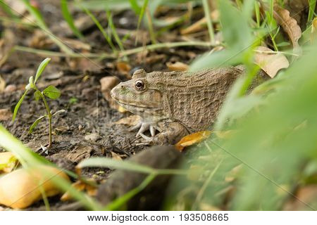 a Frog hiding in the grass  on nature