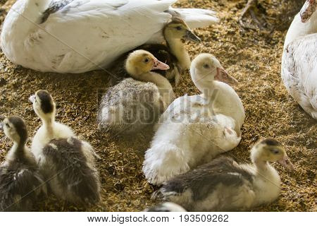 Small muscovy ducks in coop on nature