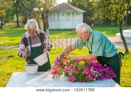 Senior gardeners working with flowers. Man and woman, summer. How to grow petunias.