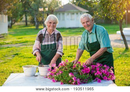 Couple of old gardeners. People transplanting flowers. Grow petunias from cuttings.