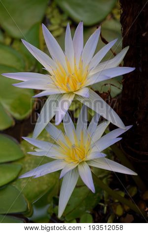 Close view on the two blossom Water lilly flowers in thair natural surounding