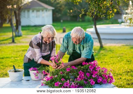 Senior people transplanting flowers. Woman and man working, summer.