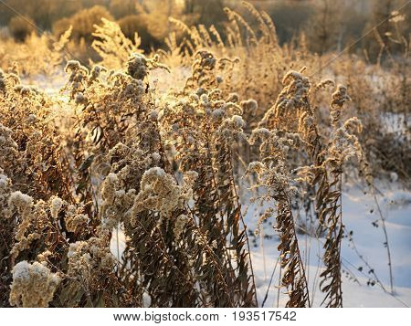 Dry plants sun and snow. Contra light closeup