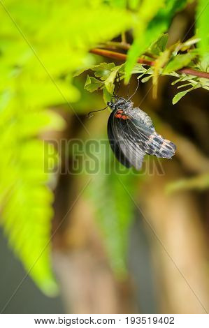 Butterfly Sitting On Leaf. Great Mormon From Detail Closeup View