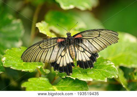 Great Mormon Wit Open Wings On Green Leafes. Beautiful Closeup Butterfly