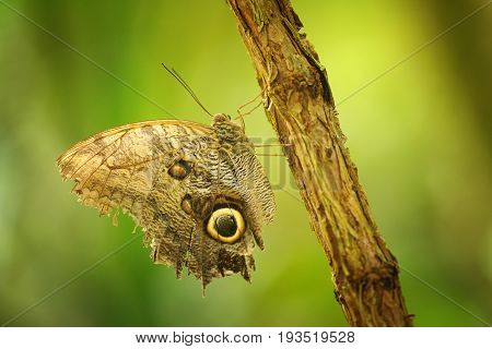 Butterfly On Branch With Closeup Wings Showing Power Of Mimicry