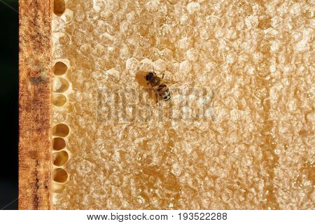 Bee on honeycomb close up image .