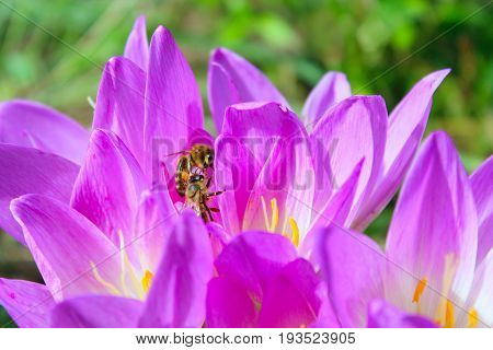 bee in the flower of pink flowers of colchicum autumnale collects nectar