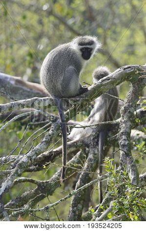 Vervet Monkey, South Africa