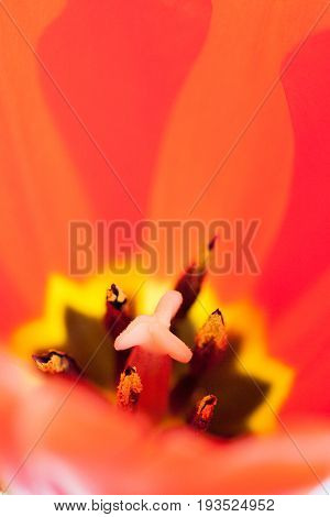 Close-up Of Pistil And Stamens Inside A Red Tulip