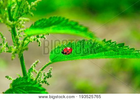 bright ladybird on the green leaf of nettle