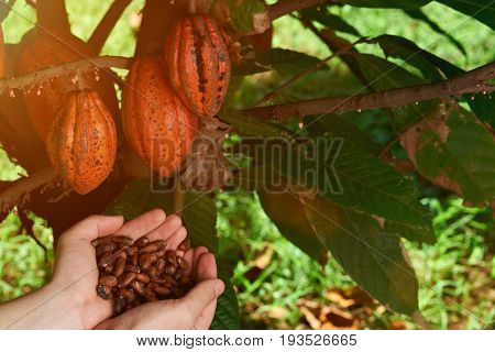Farmer show cacao seeds in hand. Cocoaa agriculture background