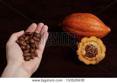 Cocoa seeds in palm hand close up . Agriculture farm background