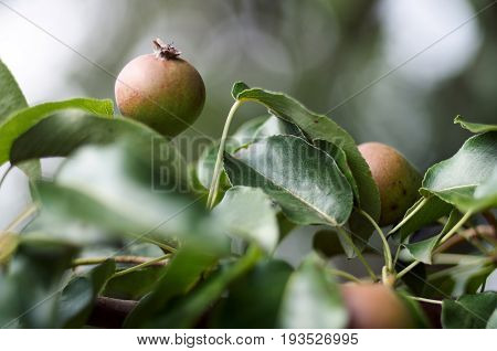 Pears grow on pear tree branch with leaves under sunlight close-up. Ripe pears on the tree in nature