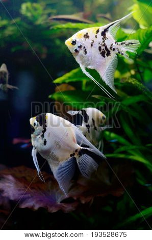 Bright freshwater background with pterophyllum fishes. Underwaterlife background.
