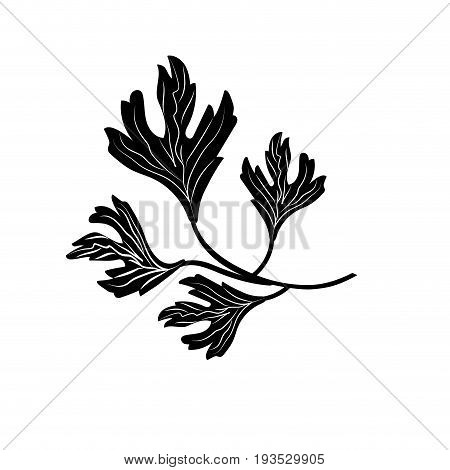 contour coriander herb to natural condiment of food vector illustration