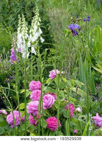 Flower garden with pink rosesiris and foxgloves