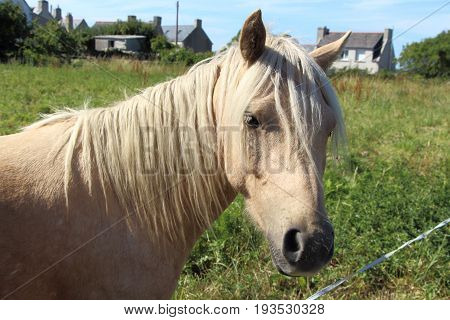 Palomino pony in a field in Brittany