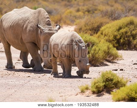 Pair Of Endangered White Rhinos Walking In A Protected Nature Reserve In South Africa
