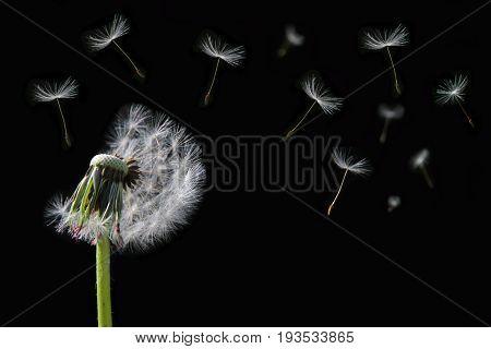Dandelion flower on black background close up image