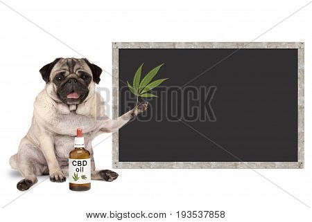 smiling pug puppy dog with bottle of CBD oil and hemp leaf with blank blackboard sign isolated on white background