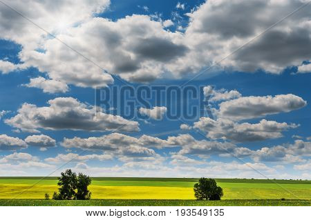 Wide angle view of a beautiful field of bright yellow canola or rapeseed in front of a forest.