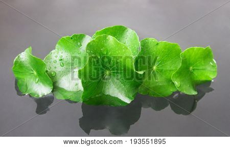 Closeup fresh leaf of Gotu kola Asiatic pennywort Indian pennywort on water herb and medical concept