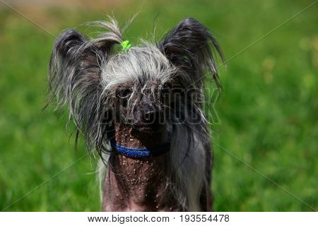 Dog breed Chinese Crested on a background of green grass