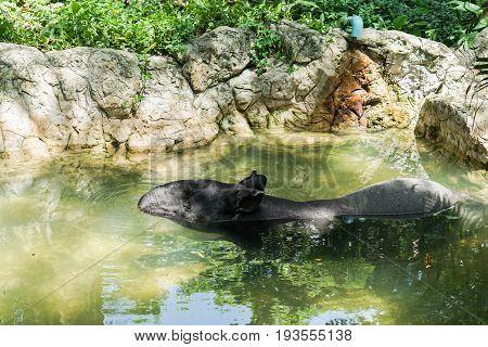 Asian Tapir in pond in the zoo