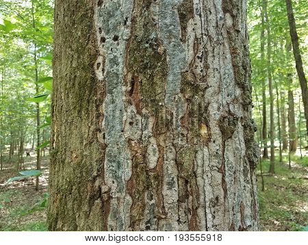 diseased tree trunk with bark pieces falling off