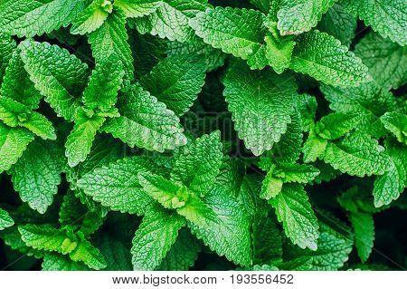 Green Mint Plant Grow Background. Menthol Texture