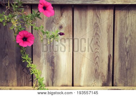 Branch of pink petunia with wooden fence background empty space on right. vintage toned image.