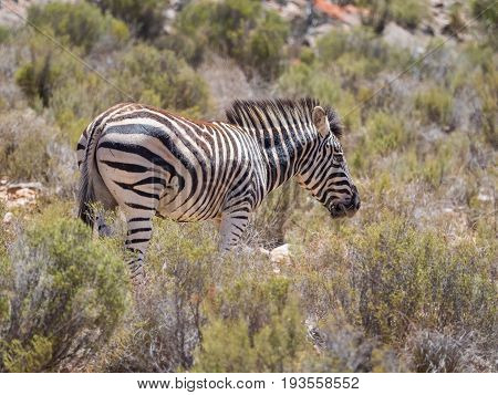 Mountain Zebra Walking In The Fynbos In A Protected Nature Reserve In South Africa