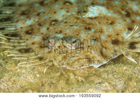 Face of Peacock sole fish (Pardachirus marmoratus) camouflaged underwater on sandy Layang LayangMalaysia