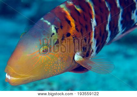 The red-breasted wrasse (Cheilinus fasciatus) show two teeth swim with blue backgroundAndaman sea Thailand.