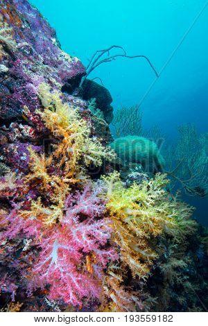 Beautiful colorful soft coral Similan Andaman sea Thailand.