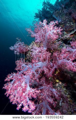 Colorful soft corals pink color (Dendronephthya sp.) at Andaman sea Thailand