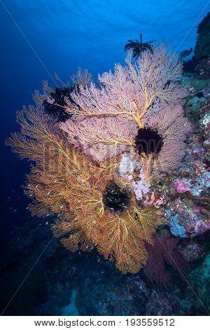 Gorgonian colony and on the rock Similan Island Andaman sea Thailand