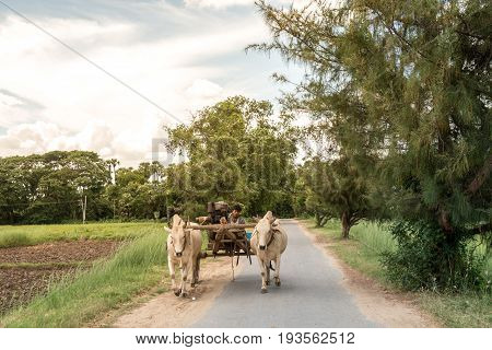 INWA MANDALAY MYANMAR 25.06.2017 : Burmese rural man driving wooden cart on road drawn by two white buffaloes. traditional village life in Burma countryside