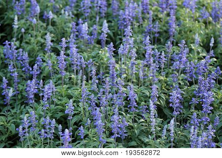 Blue Meadow Sage flower (Salvia Pratensis or Herbaceous Perennial Plant) wildflower with shallow depth of field.