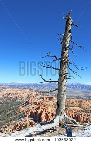 Dead tree in Bryce Canyon National Park, Utah