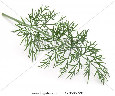 Close up shot of branch of fresh green dill herb leaves isolated on white background
