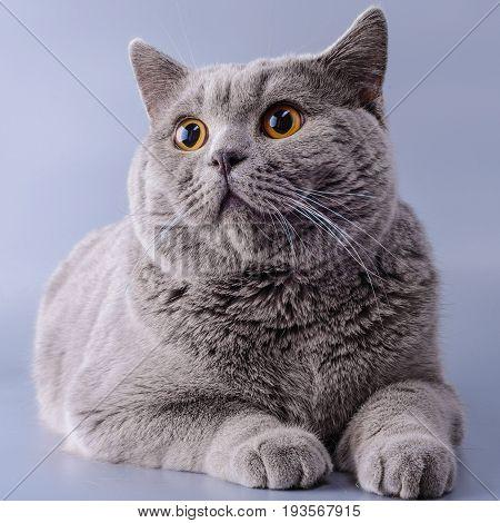 Very Beautiful Surprised British Cat Lies On Purple Background .