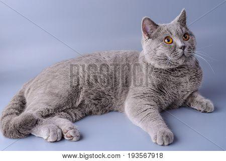Very Beautiful British Cat Lies On Purple Background .