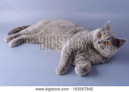 Interested Gray British Cat Lies On Purple Background