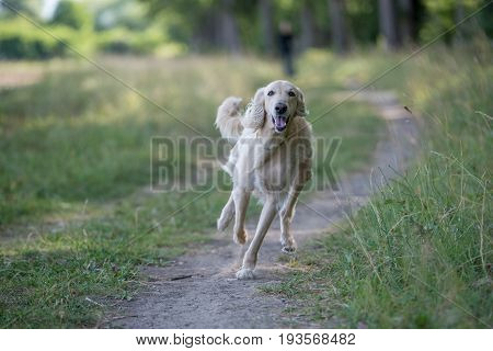 Kyrgyzian Sight hound Taigan is a member of the family of Eastern Sighthounds. The Taigan is a very rare dog breed reported about few hundred worldwide. Selective focus on the dog