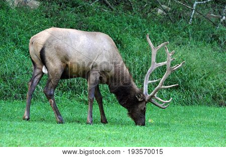 Wild male elk with huge antlers grazing at Big Cataloochee valley in North Carolina