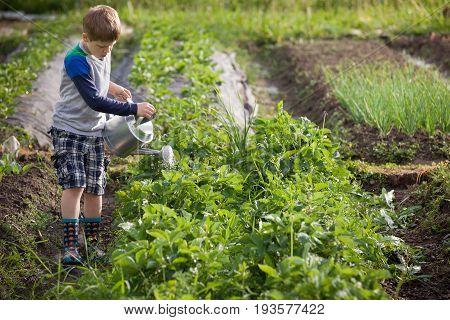Cute little kid boy watering plants with watering can in the garden. Adorable little child helping parents to grow vegetables and having fun. Activities with children outdoors.